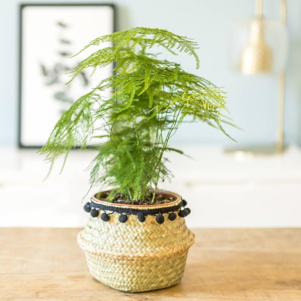 Aspargus plante d'intérieur résistante avec cache-pot