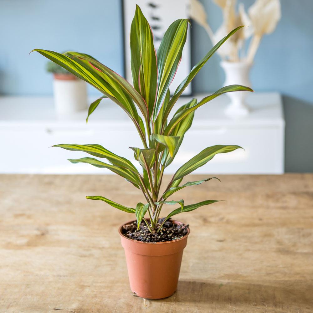 Cordyline plante d'intérieur remarquable sans cache-pot