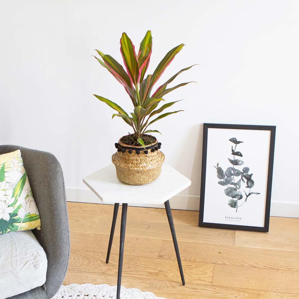 Cordyline plante d'intérieur remarquable avec cache-pot