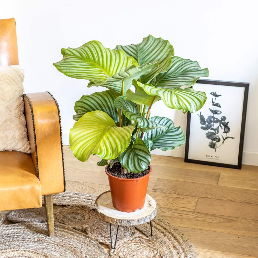 Calathea plante d'intérieur tropicale sans cache-pot