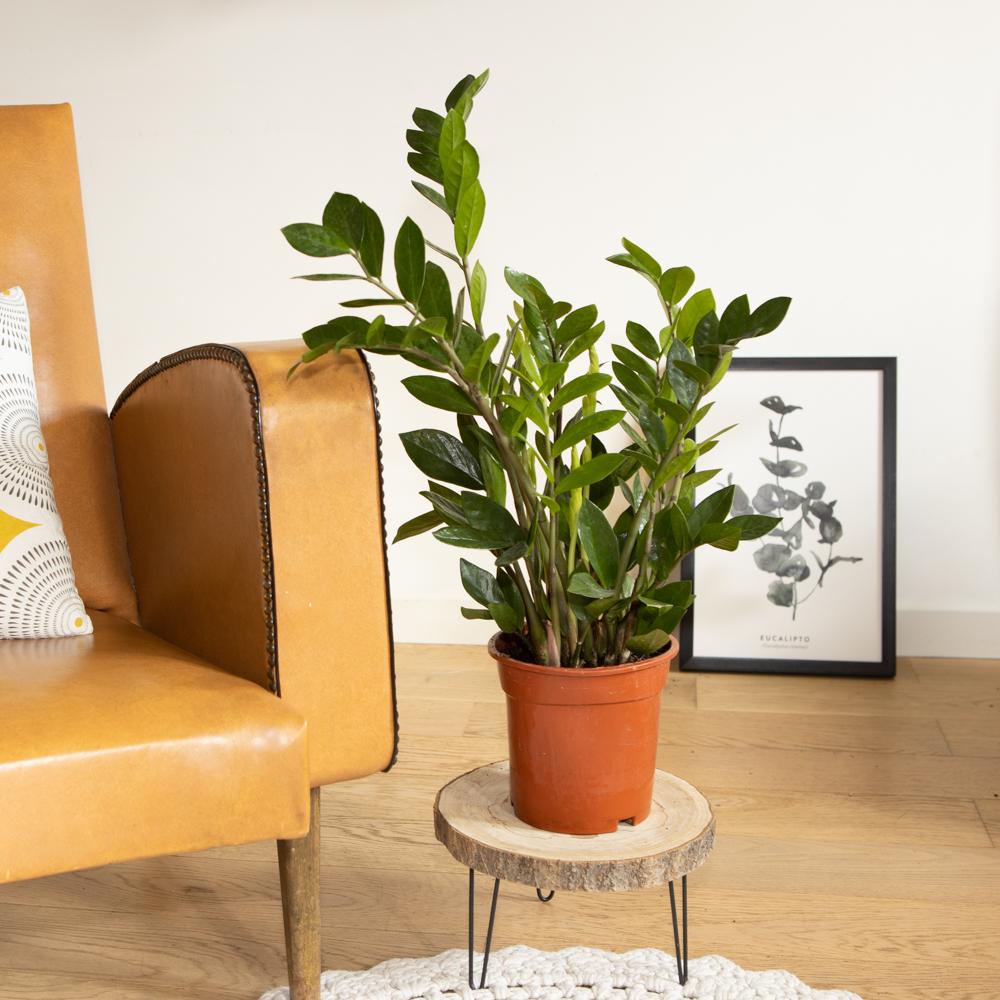 Plante d'intérieur facile d'entretien sans cache-pot