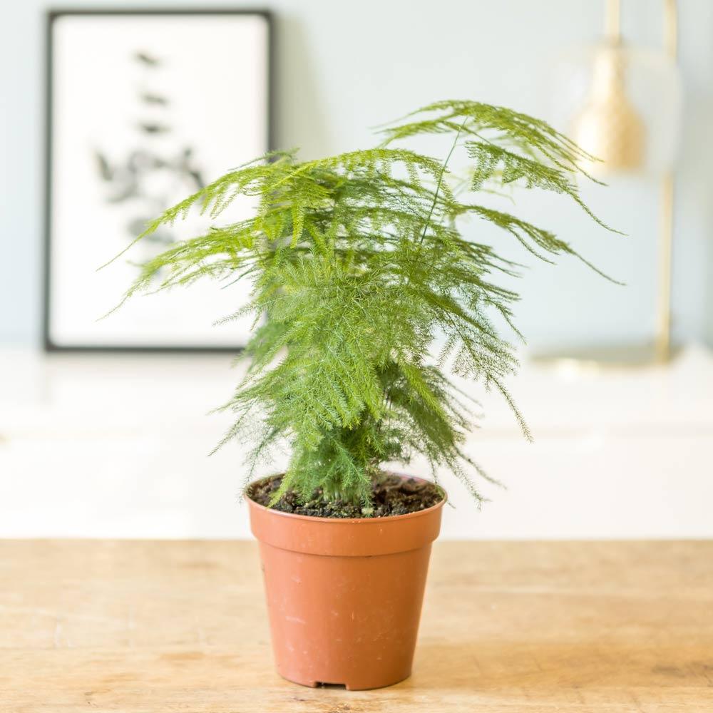 Aspargus plante d'intérieur résistante sans cache-pot