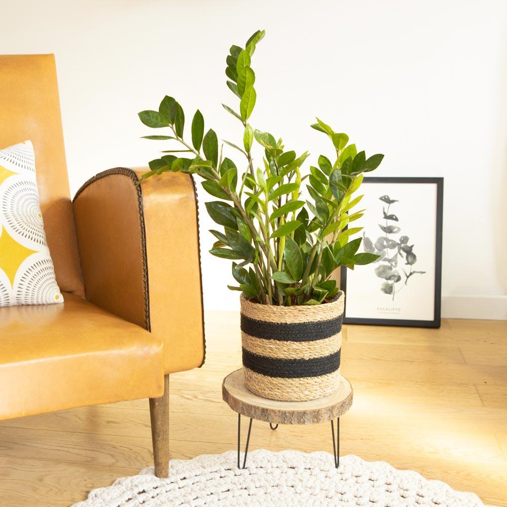 Plante d'intérieur facile d'entretien avec cache-pot