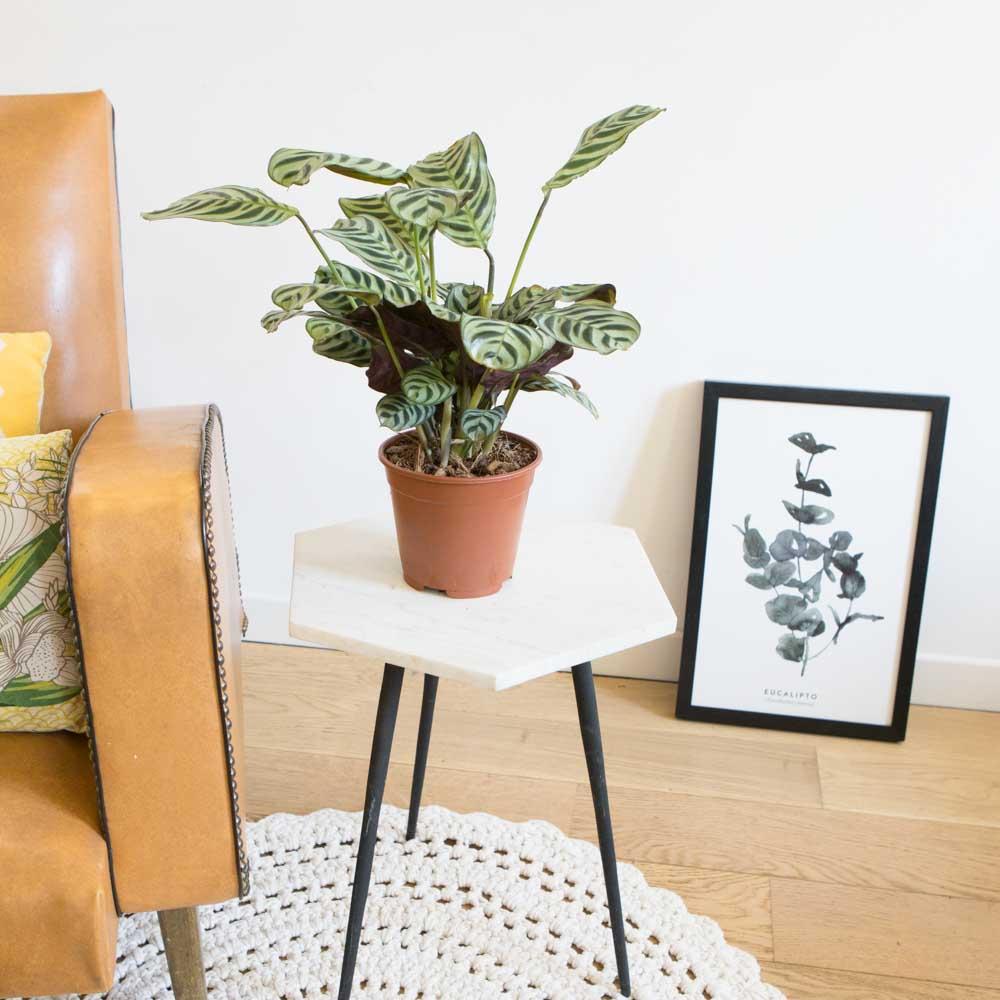 Calathea plante prière sans cache-pot
