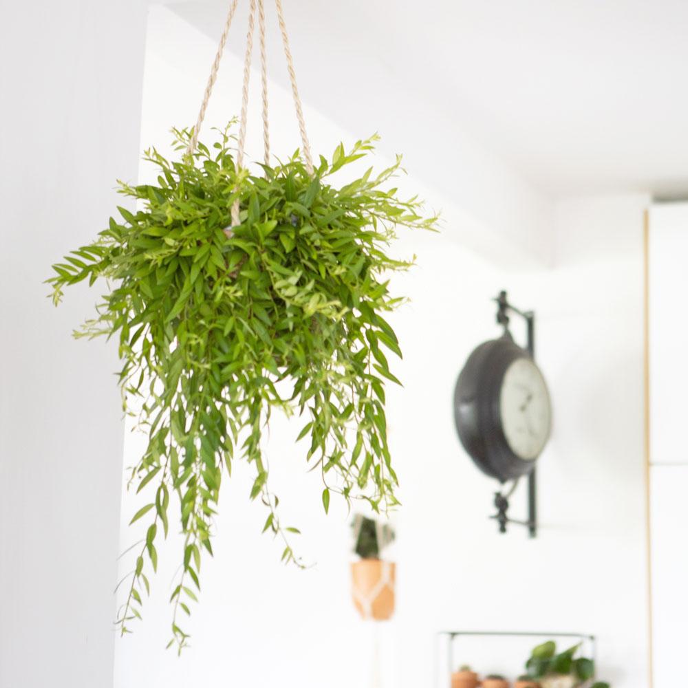 Plante pour suspension sans cache-pot