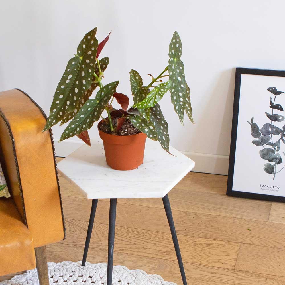 Bégonia plante d'intérieur sans cache-pot