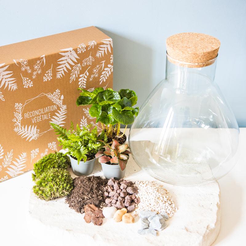Kit pour terrarium 3 plantes coffea, fougère et fittonia rouge