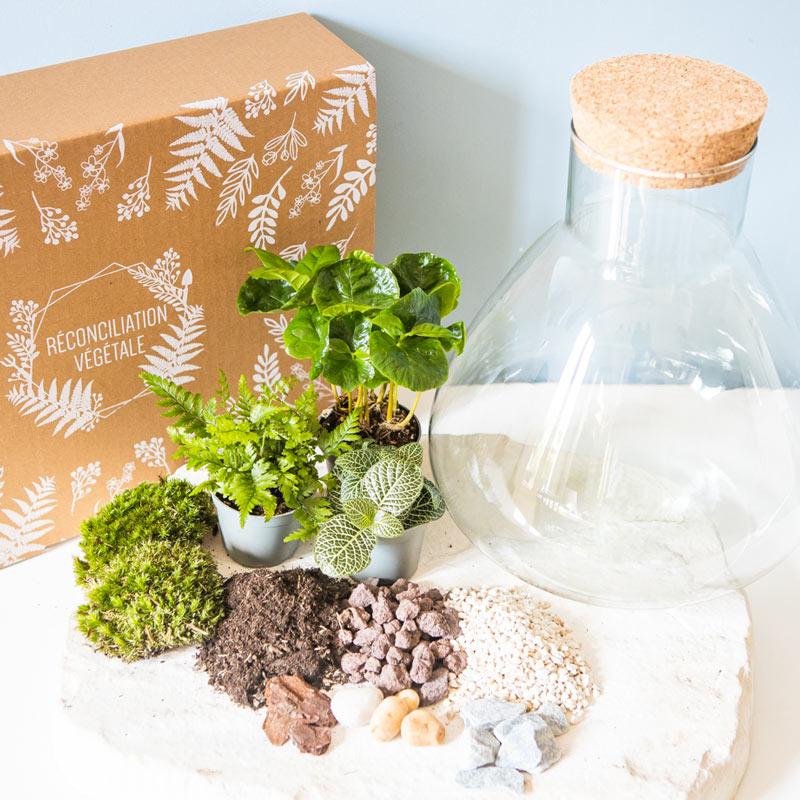 Kit pour terrarium 3 plantes coffea, fougère et fittonia vert