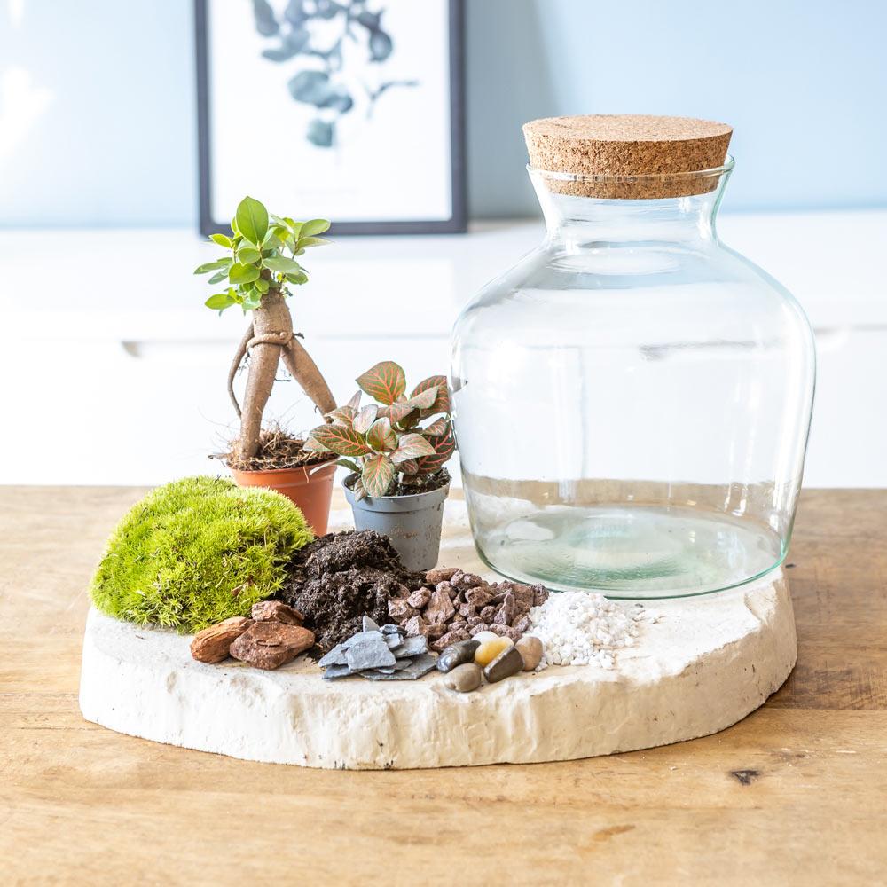 Kit pour terrarium 2 plantes ficus et fittonia rouge