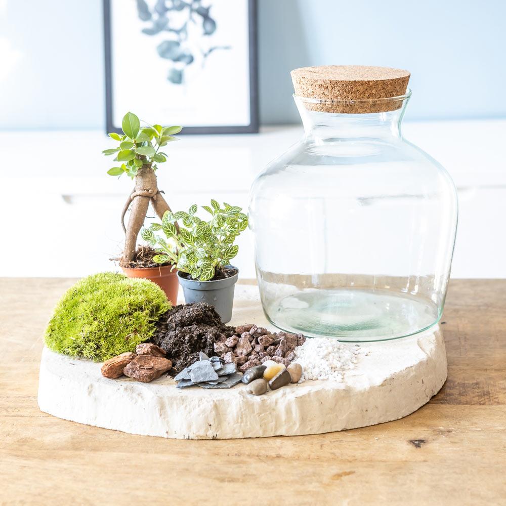 Kit pour terrarium 2 plantes ficus et fittonia vert