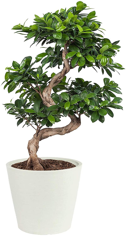Plante d'intérieur - Bonsaï Ficus de 70cm en pot blanc gris