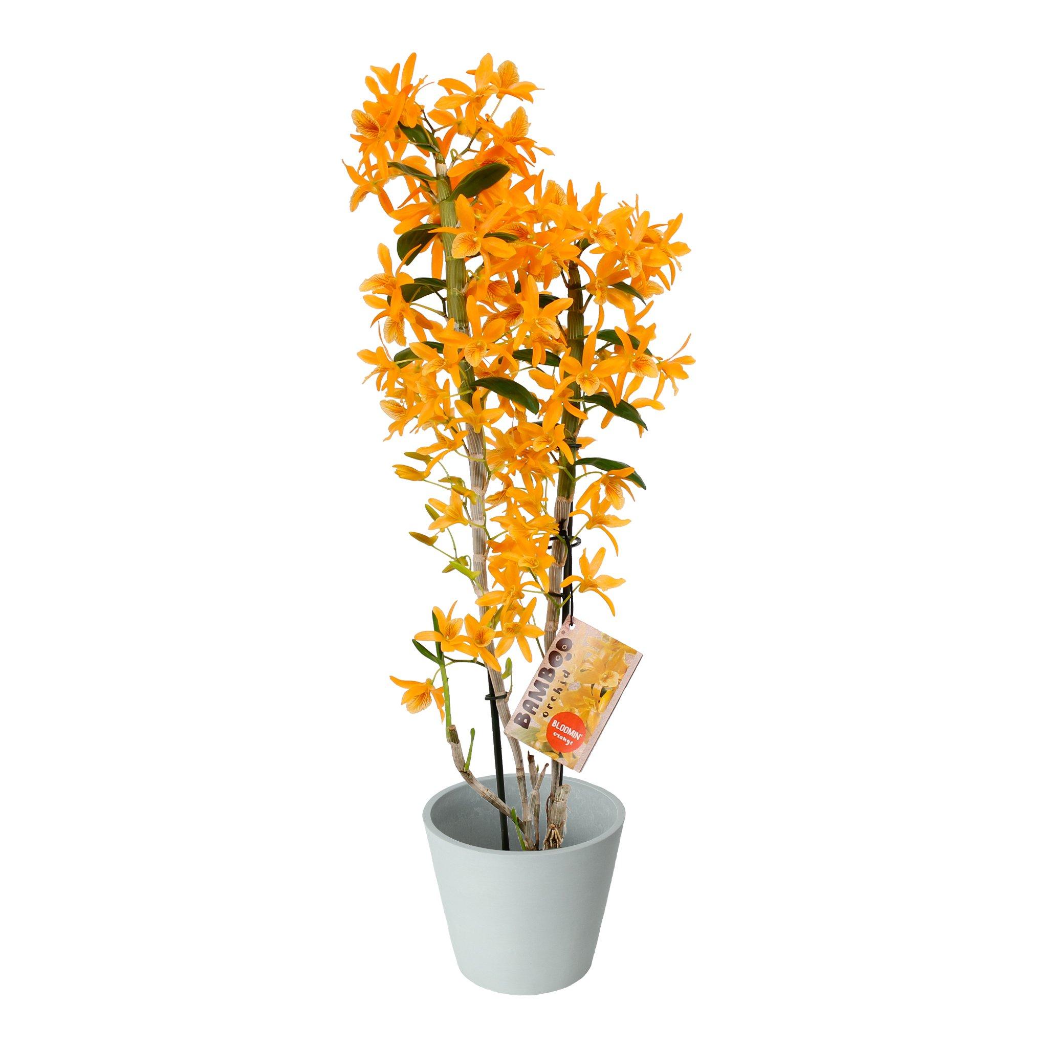 Plante d'intérieur - Orchidée Bambou orange en pot blanc gris