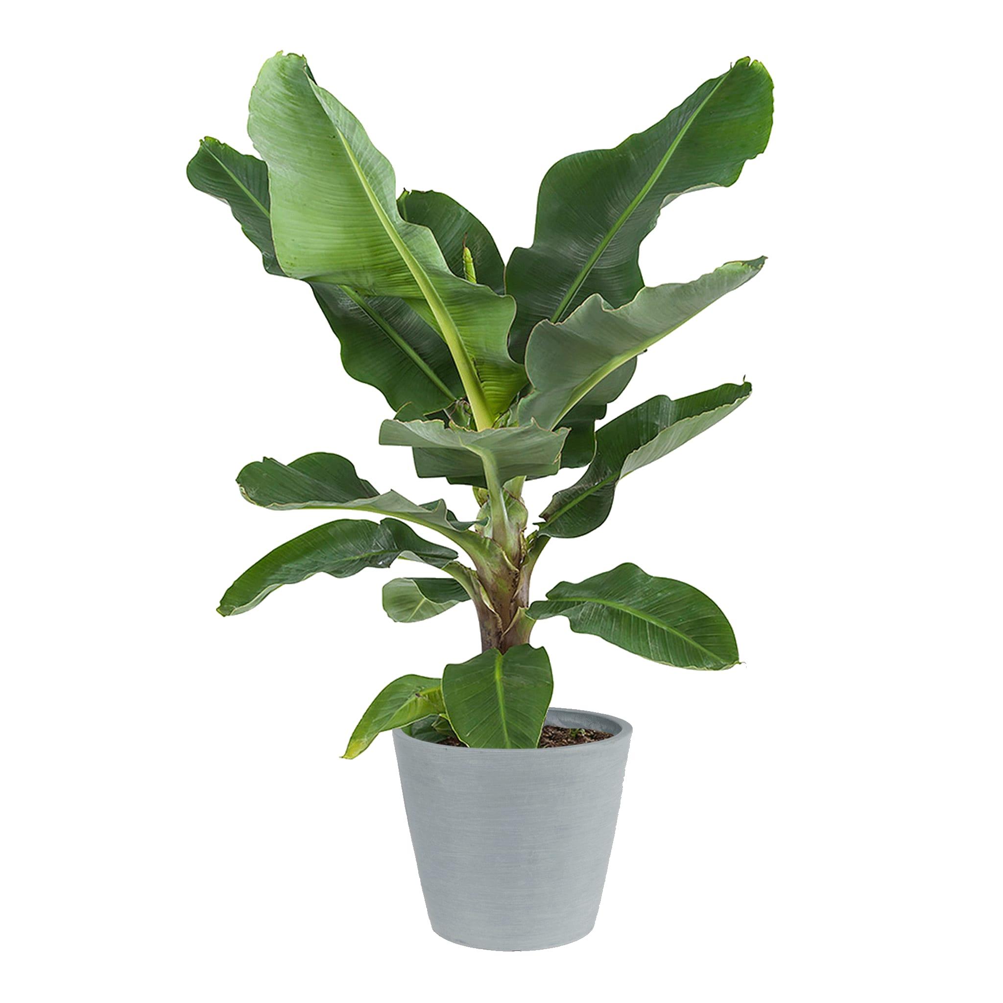 Plante d'intérieur - Bananier de 80 cm en pot bleu gris