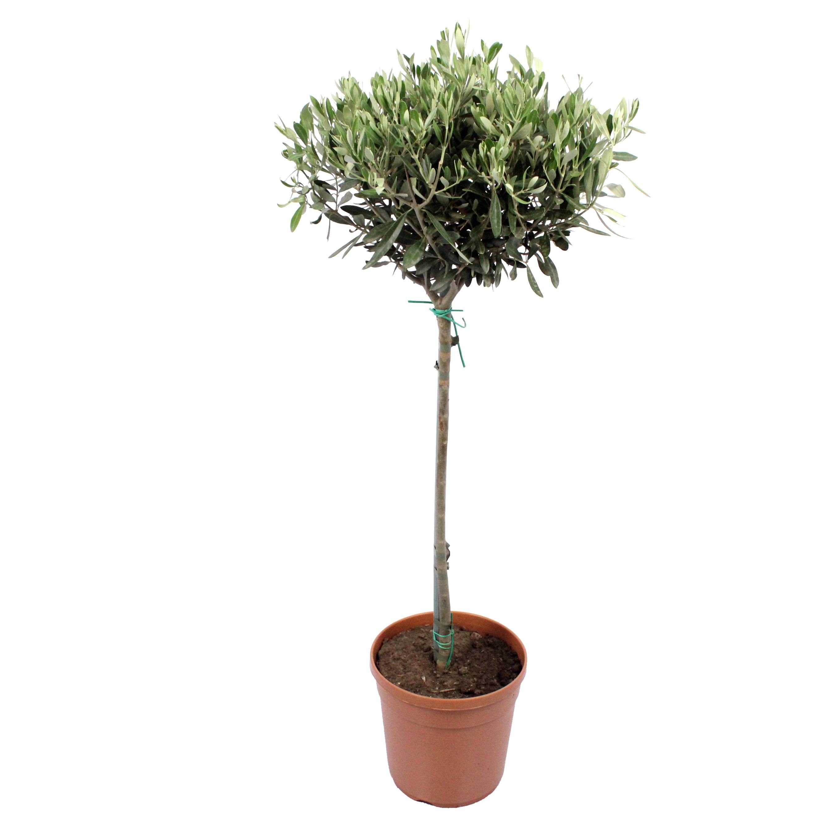 Plante d'intérieur - Olivier de 90 cm