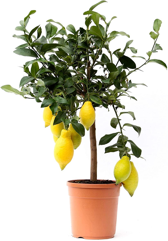 Plante d'intérieur et d'extérieur - Citronnier de 65cm