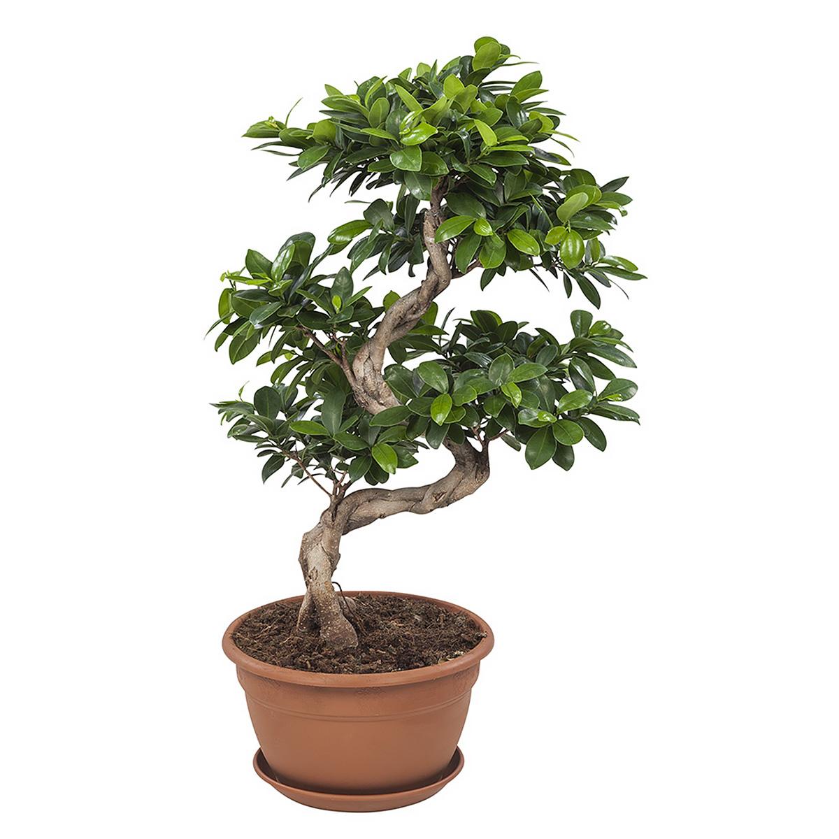 Plante d'intérieur - Bonsaï Ficus de 70cm