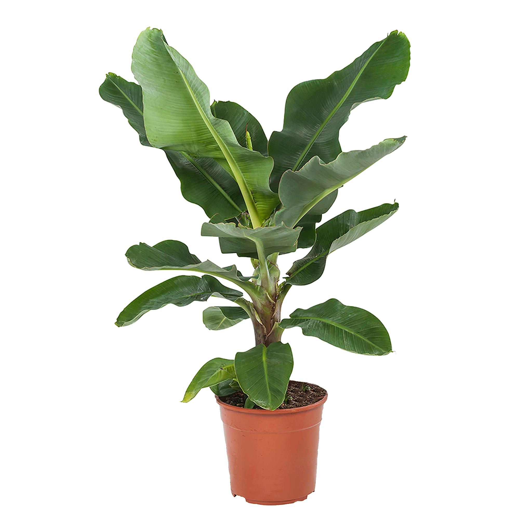 Plante d'intérieur - Bananier de 80 cm