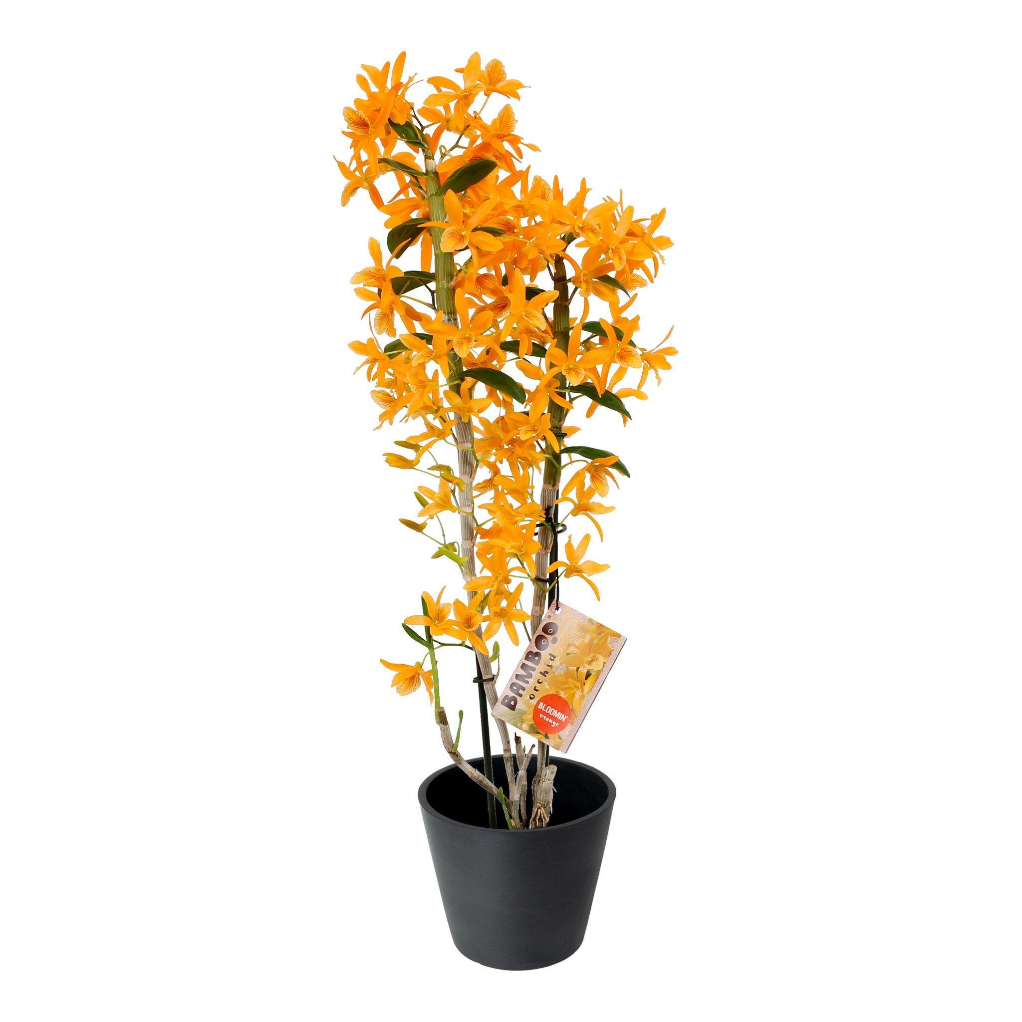 Plante d'intérieur - Orchidée Bambou orange de 50cm en pot noir