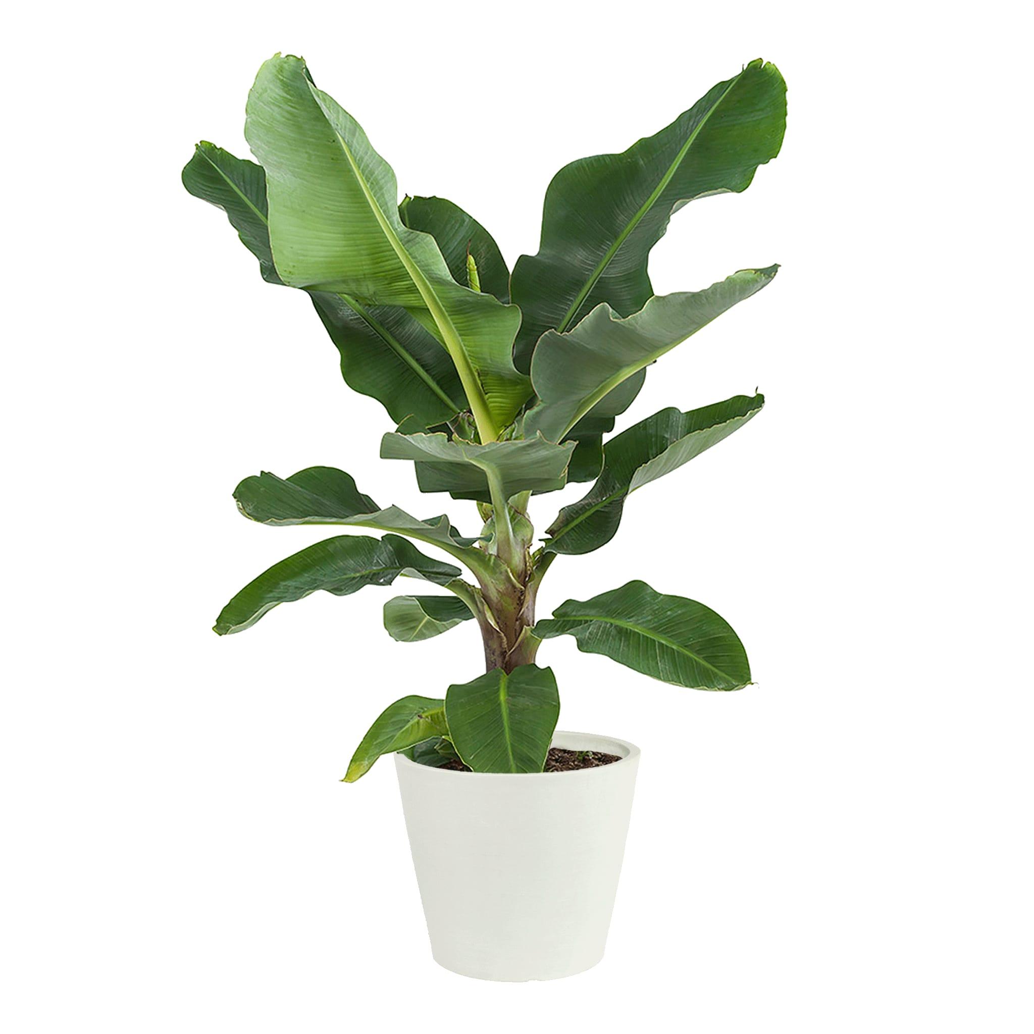 Plante d'intérieur - Bananier de 80 cm en pot blanc gris