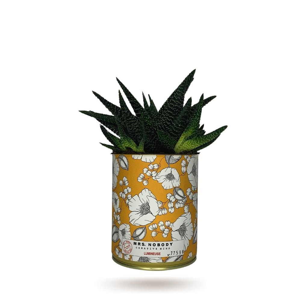 Cactus ou Succulente - Lumineuse - Haworthia
