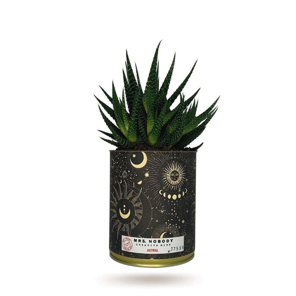 Cactus ou Succulente - Astral - Haworthia