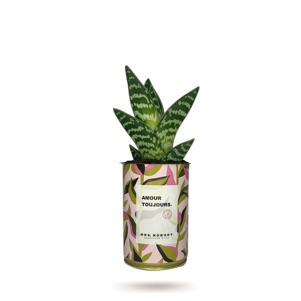 Cactus ou Succulente - Amour Toujours - Aloe