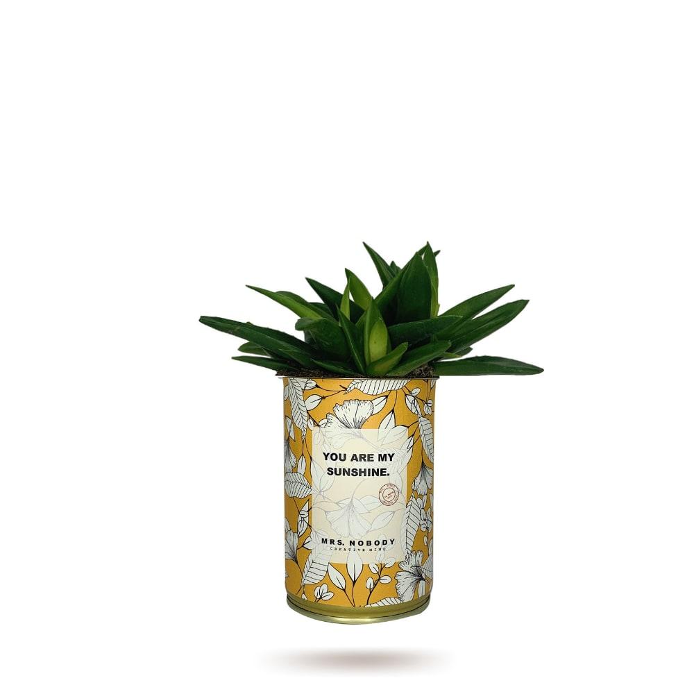 Cactus ou Succulente - You Are My Sunshine - Haworthia