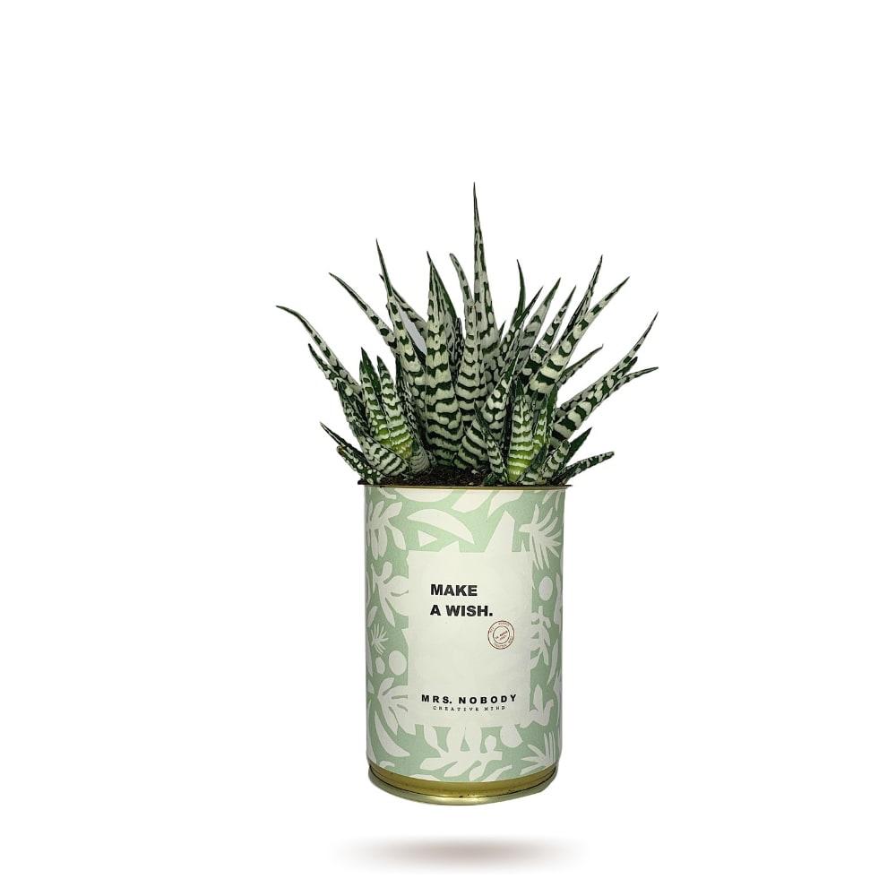 Cactus ou Succulente - Make A Wish - Haworthia