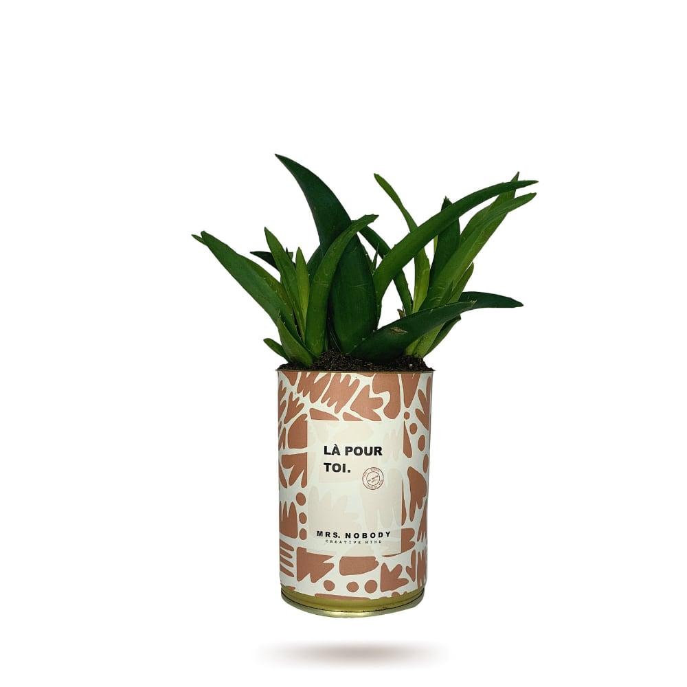 Cactus ou Succulente - Là Pour Toi - Haworthia