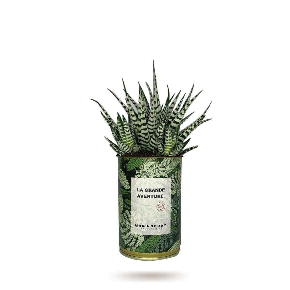 Cactus ou Succulente - La Grande Aventure - Haworthia