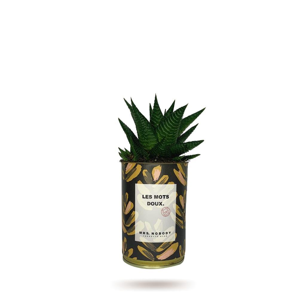 Cactus ou Succulente - Les Mots Doux - Haworthia