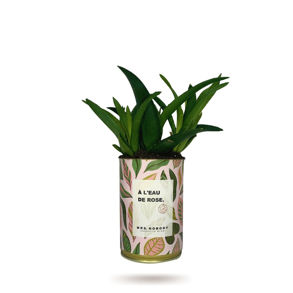 Cactus ou Succulente - À L'Eau De Rose - Haworthia