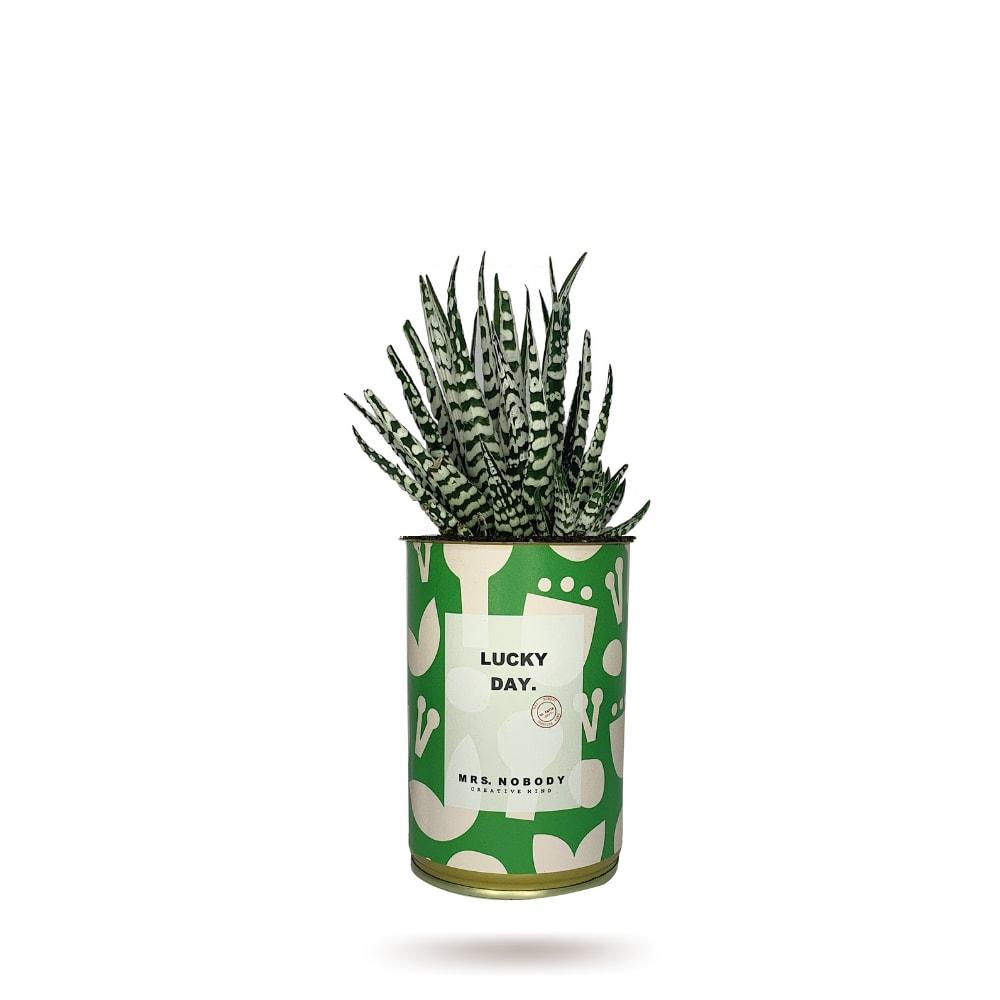 Cactus ou Succulente - Lucky Day - Haworthia