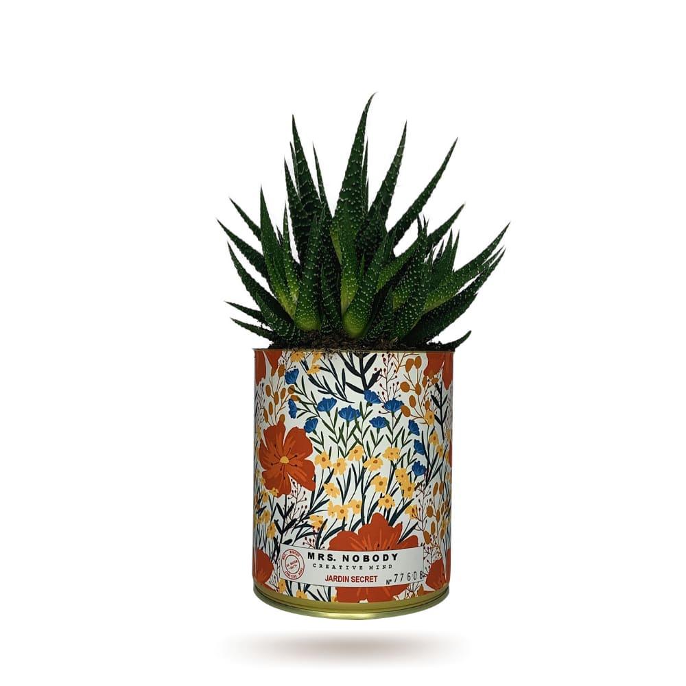Cactus ou Succulente - Jardin Secret - Haworthia