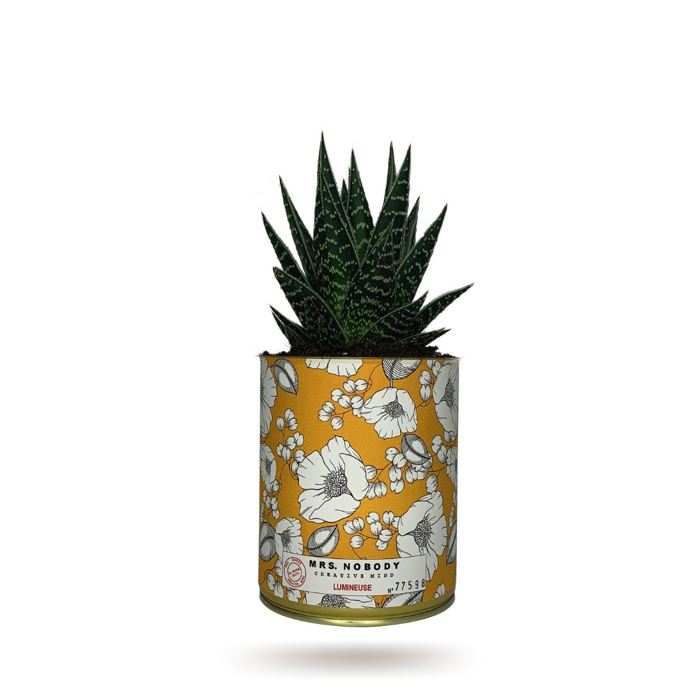 Cactus ou Succulente - Lumineuse - Aloe