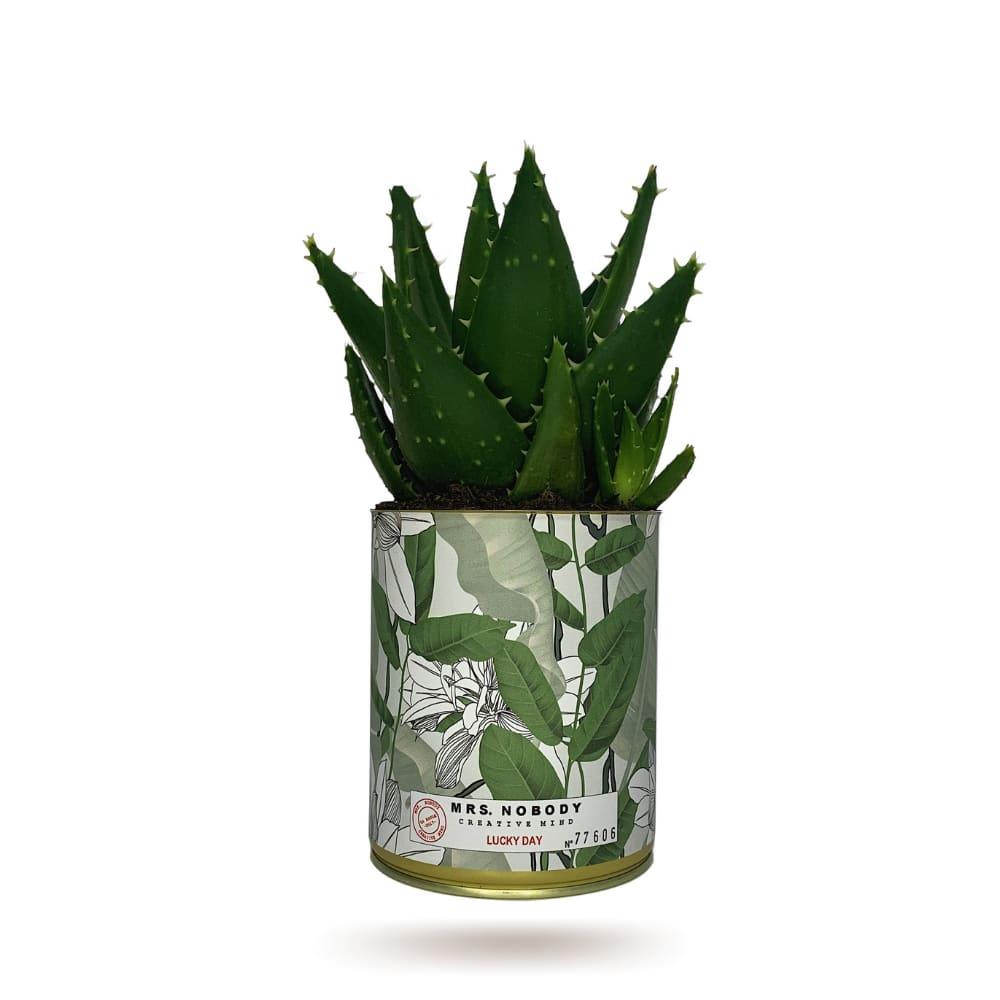 Cactus ou Succulente - Lucky Day - Aloe