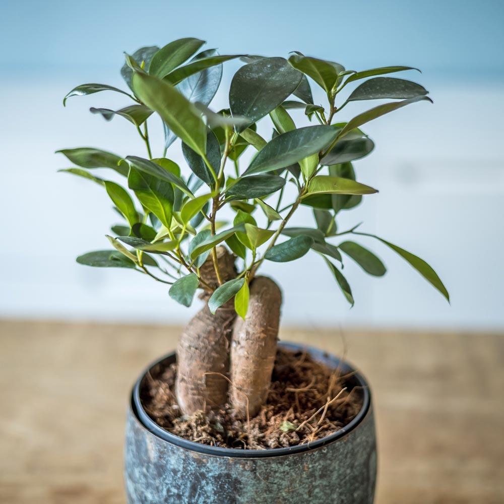 Plante d'intérieur ficus microcarpia ginseng