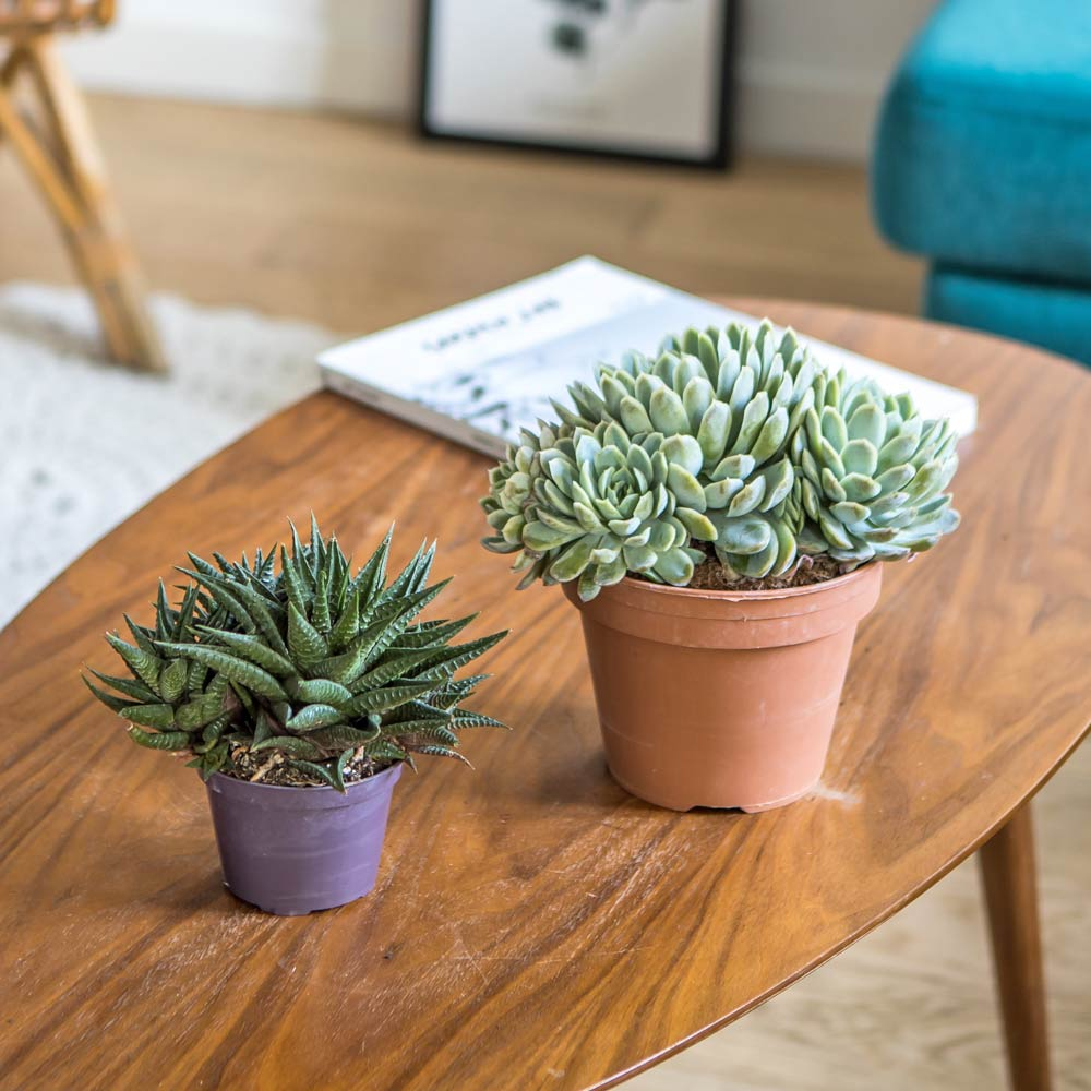 Plante d'intérieur grasse facile d'entretien - Lot de 2