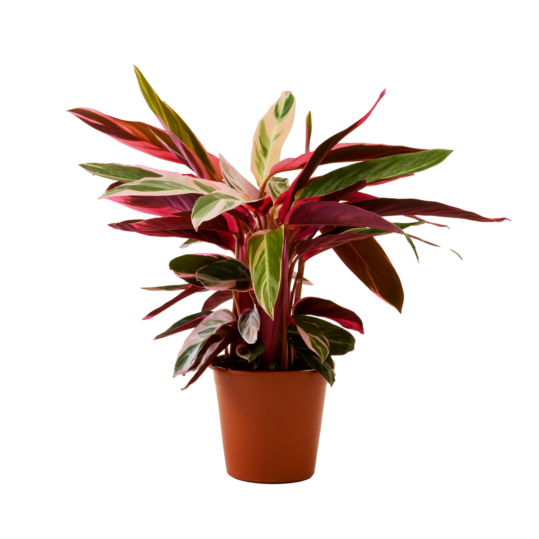 Plante d'intérieur - Calathea triostar mini