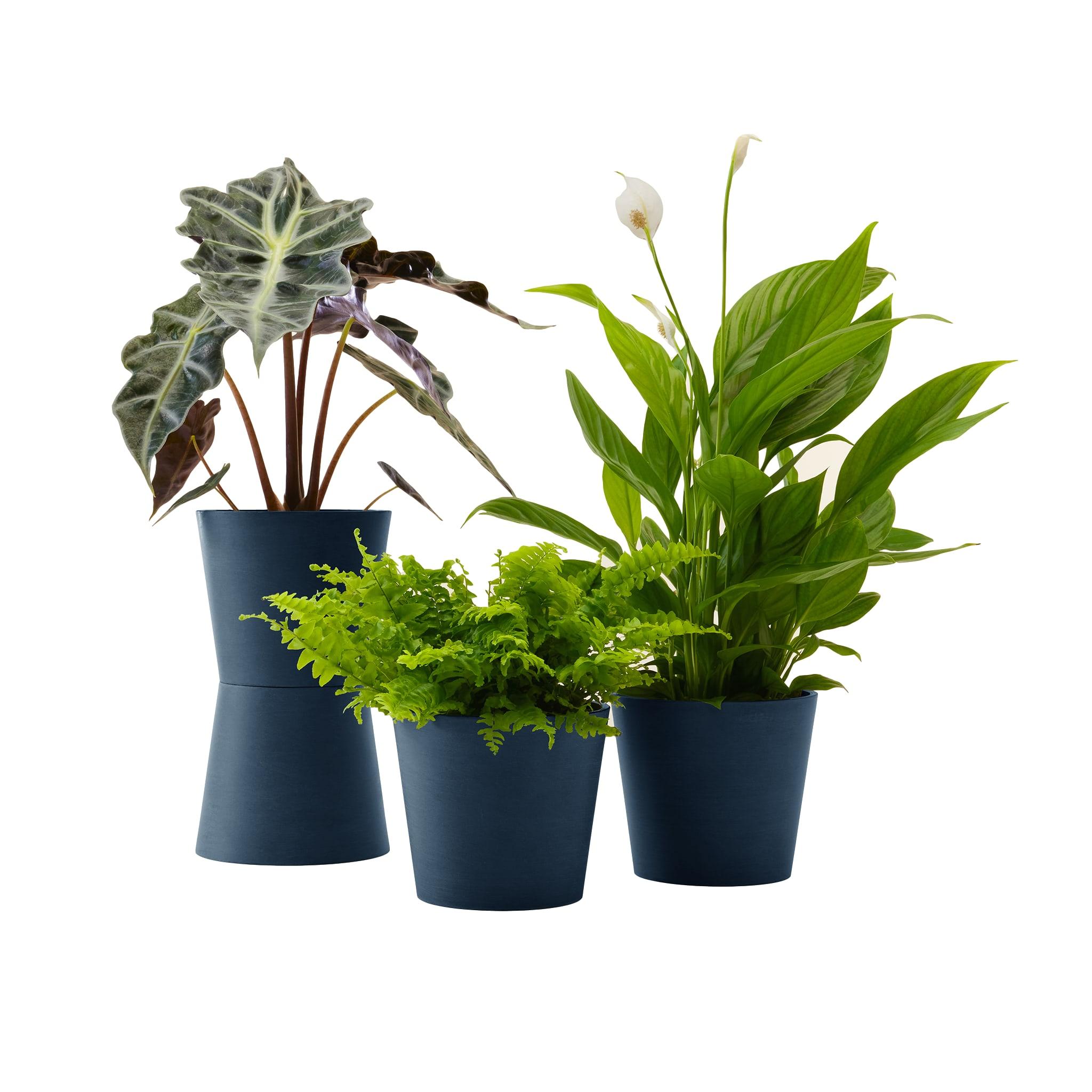 Plante - Spathiphyllum, Bananier, Nephrolepis pot bleu nuit