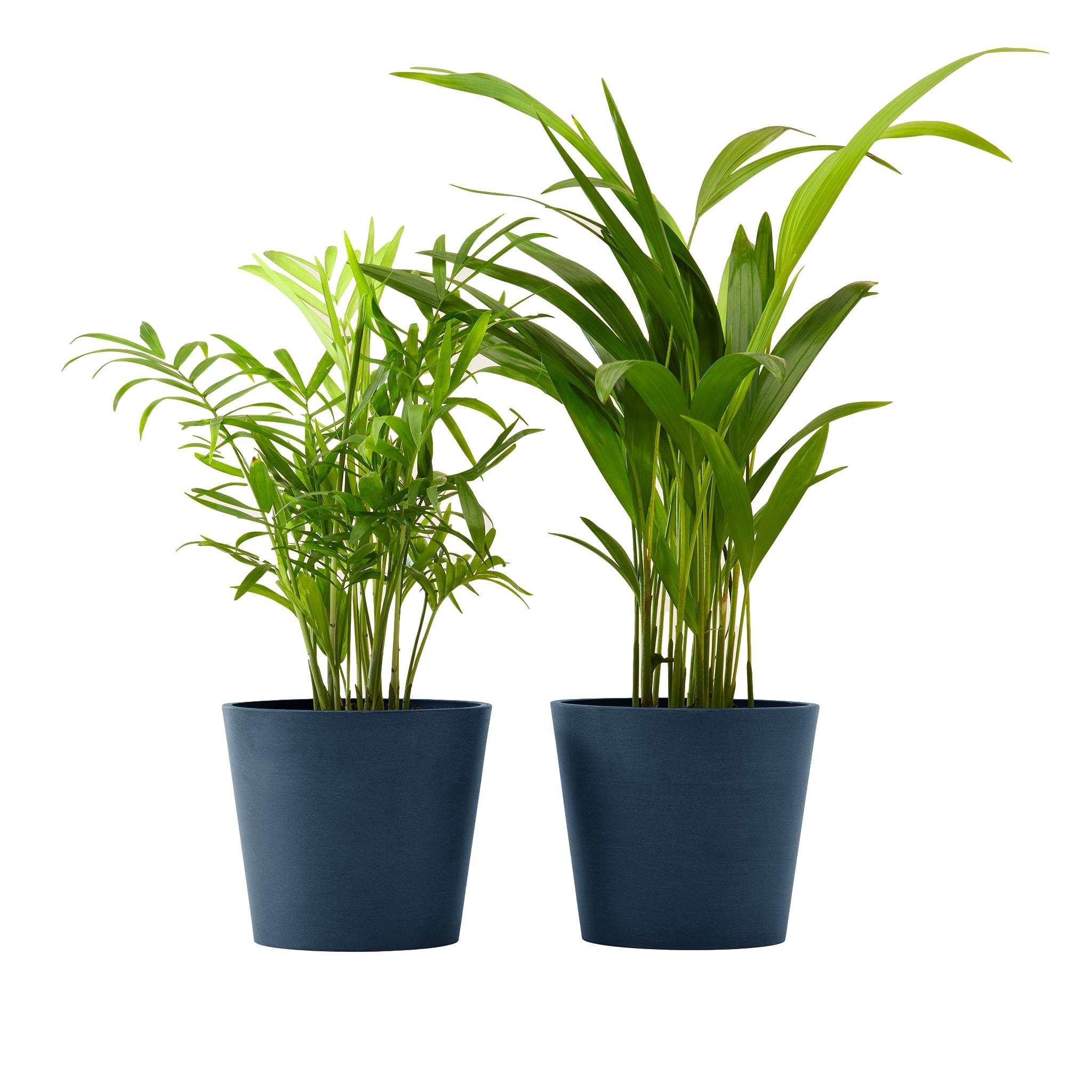Plante x2 - Palmier areca et chamedora 40 cm pot bleu nuit