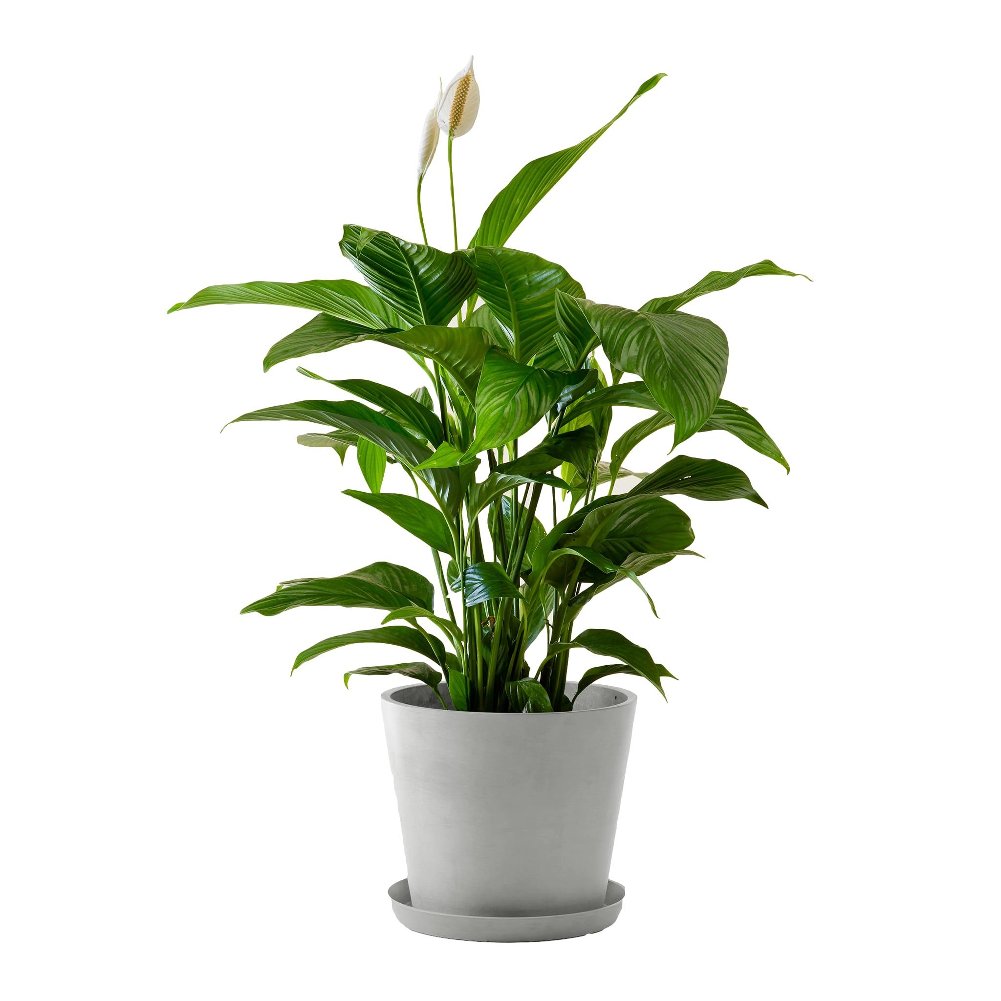 Plante d'intérieur - Spathiphyllum 100 cm en pot blanc gris