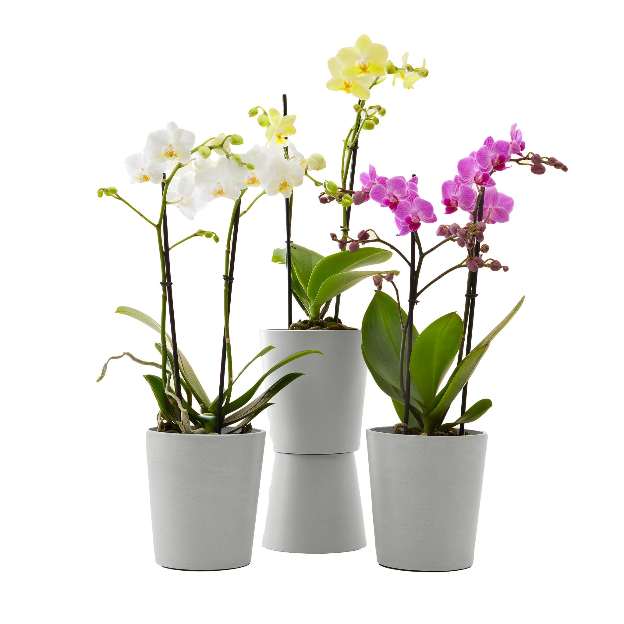 Plante - Trio d'orchidées de 50 cm en pot blanc gris