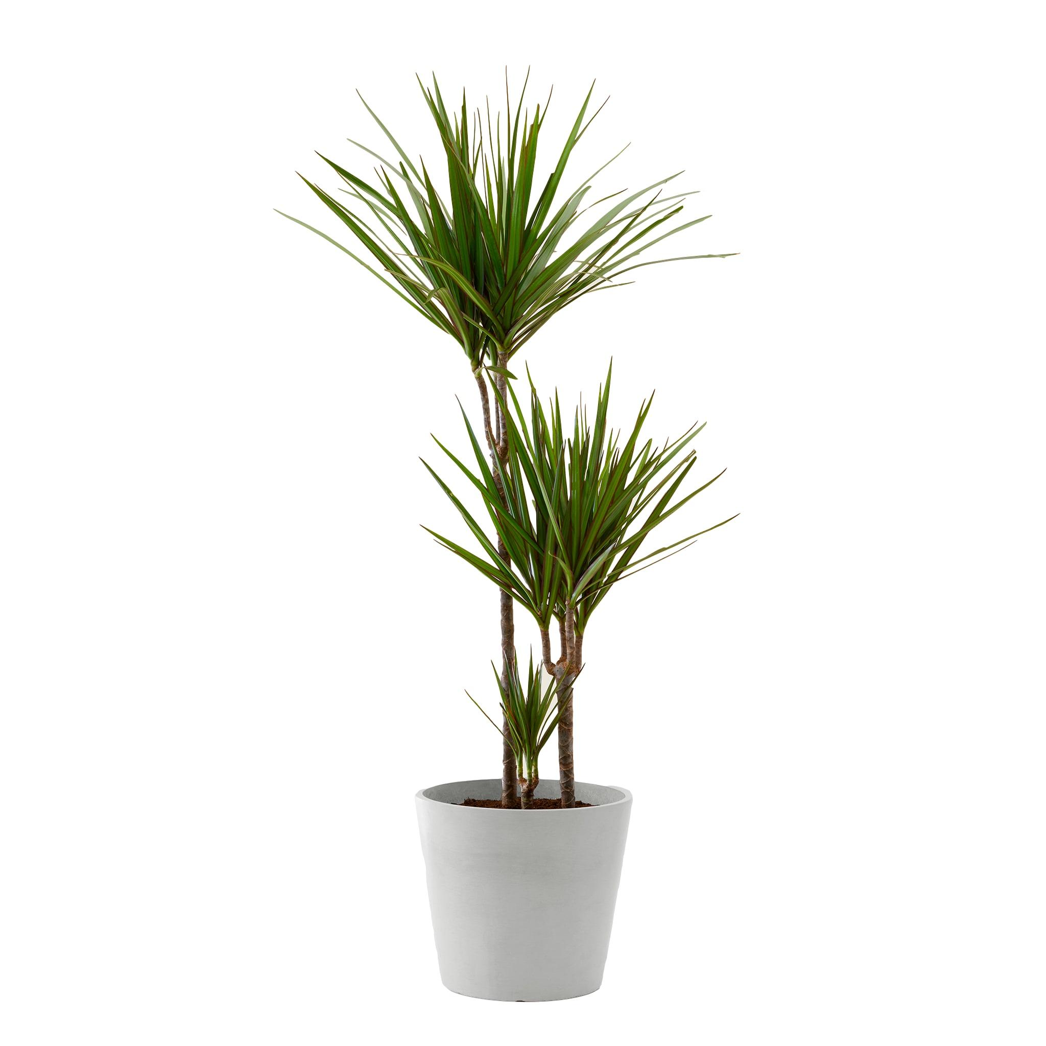 Plante d'intérieur - Dracaena 125 cm en pot blanc gris
