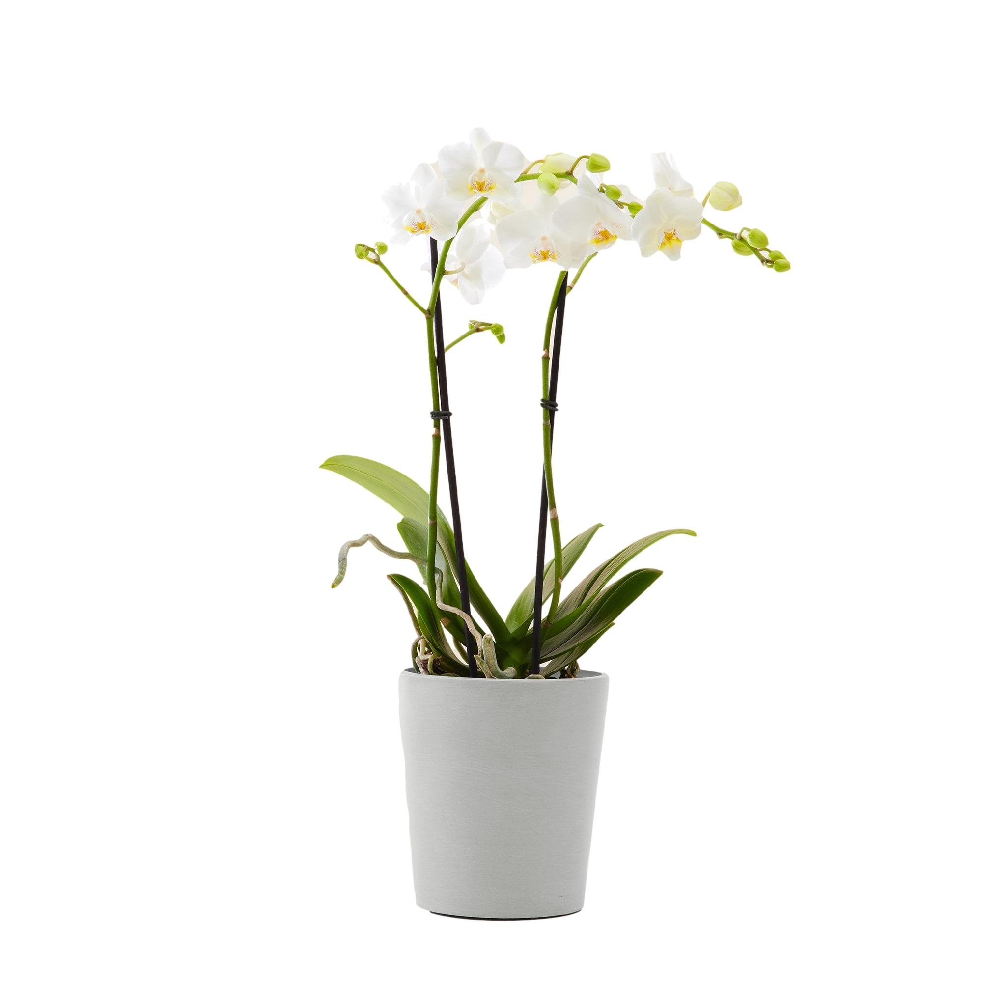 Plante d'intérieur - Orchidée blanche 50 cm en pot blanc gris