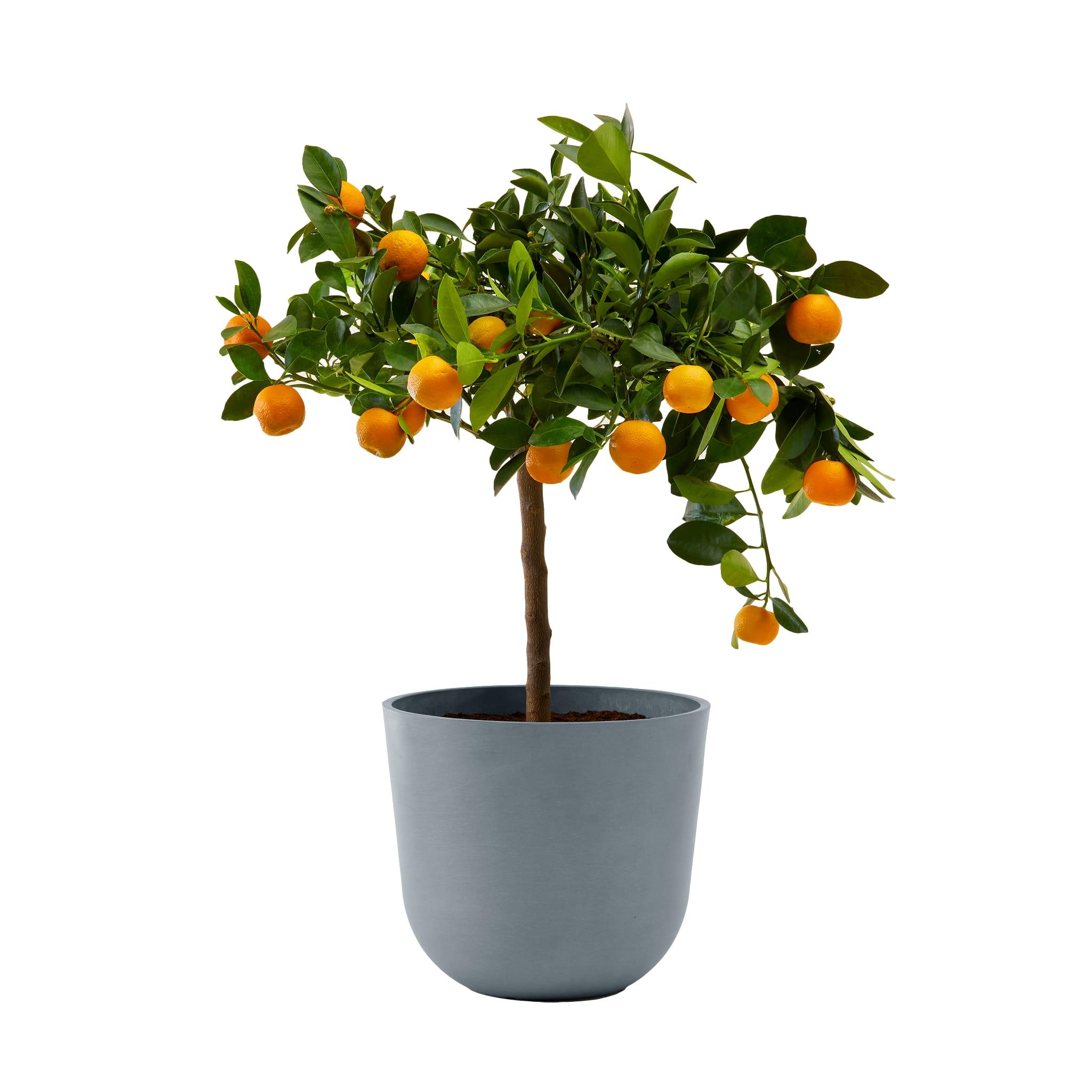 Plante d'intérieur- Calamondin 75 cm en pot bleu gris