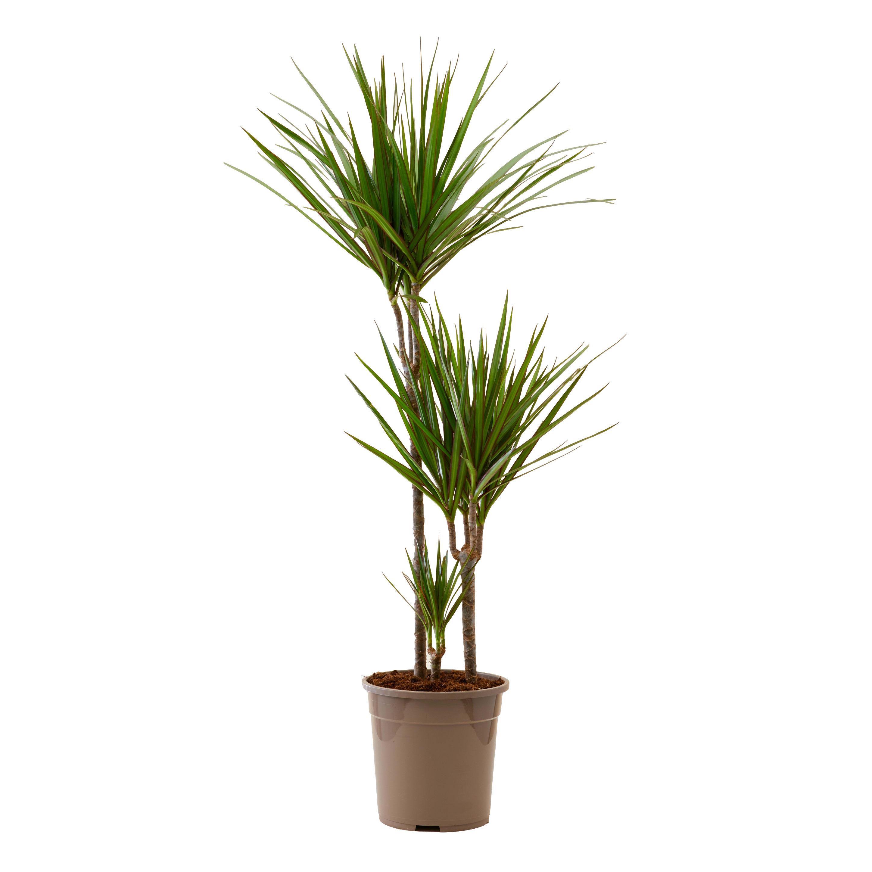 Plante d'intérieur - Dracaena Marginata