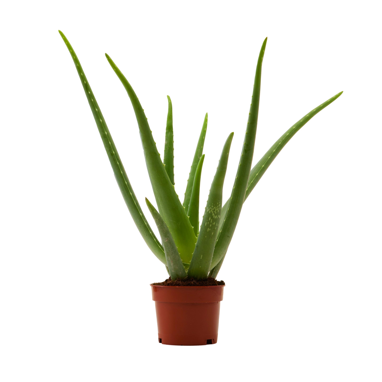 Plante d'intérieur - Aloe Vera