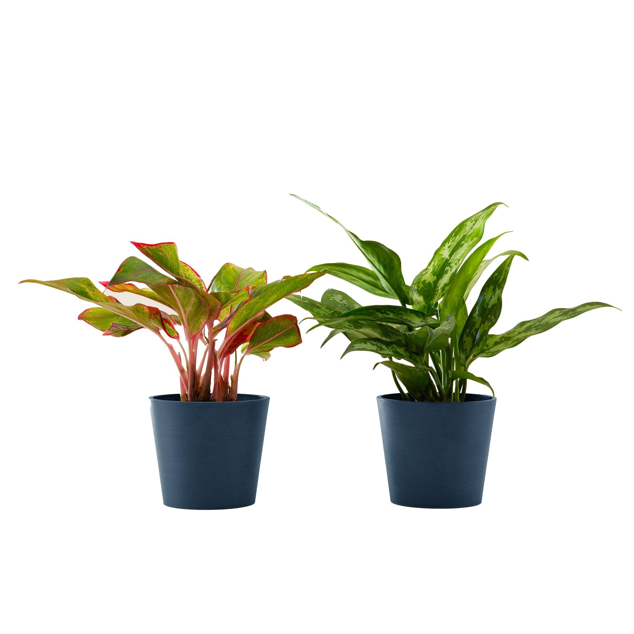 Plante d'intérieur - Duo d'aglaonema 25 cm en pot bleu nuit