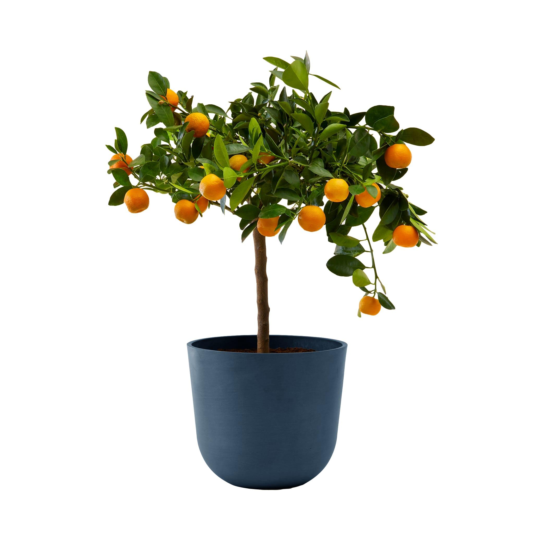 Plante d'intérieur- Calamondin 75 cm en pot bleu nuit
